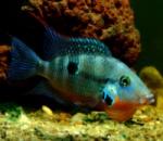 Цихлазома Меека (Thorichthys meeki) 10см