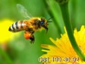 Пчёлы. Пчелопакеты. Пчелиные плодные меченые матки. Карпатка. Вся Украина