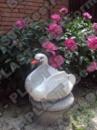 Лебедь (цветник) средний