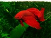Петушок вуалевый(Betta Splendens)красный, мультиколор, синий, сине-зеленый 5-6см