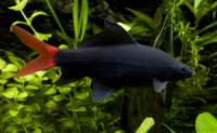 Лабео двухцветный (Labeo bicolor) 8см
