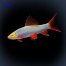 Лабео «GloFish» синий (Labeo frenatus)