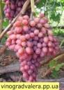 Виноград Кишмиш лучистый (вегетирующий саженец) Черенок 25 грн.