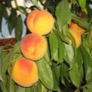 Персик «Донецкий желтый», 1-2 года