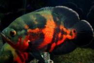 Астронотус оскар глазчатый (Astronotus ocellatus) 5см