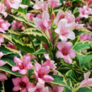 Вейгела цветущая Нана Вариегата (Nana variegata)