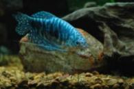 Гурами мраморный (Trichogaster trichopterus sumatranus)