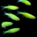 данио Electric Green GloFish