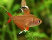 Орнатус обыкновенный или красный (лат. Hyphessobrycon bentosi)