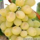 Виноград Лора (вегетирующий саженец)