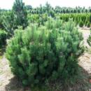 Сосна горная Мугус (Pinus mugo Mughus) 3х летняя