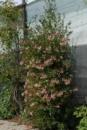 Жимолость плетистая «CHOJNOW», 40-50 см