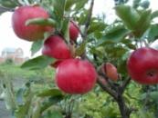 Яблоня Васюган