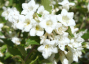 Вейгела цветущая Кандида 2х летний (Weigela florida Candida)