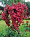 Штамбовая роза Экцельза