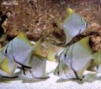 МОНОДАКТИЛ СЕБА или ПОЛОСАТАЯ ЛАСТОЧКА (Monodactylus sebae, Psettus sebae)