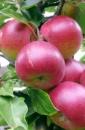 Яблуня «Витос»
