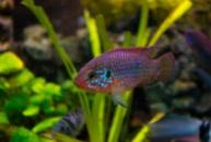 неоновый Хромис-красавец (Hemichromis bimaculatus neon)