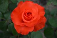 Роза Стар 2000 . Star 2000