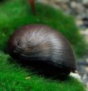 Улитка Шлем (Каска) Black Military Helmet Snail (Neritina pulligera)