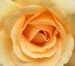 Чайная Роза 15 мл