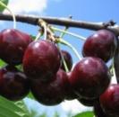 Вишня «Чудо вишня»