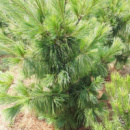 Сосна гималайская / Гриффита (Pinus wallichiana / griffithii) 3х летняя