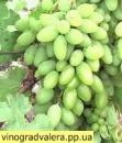 Виноград Тимур (вегетирующий саженец)