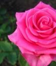 Роза Голден леди .Golden Lady