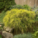 Кипарисовик горохоплодный «Sungold» 3х летний