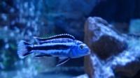 Меланохромис «Маингано» (Melanochromis cyaneorhabdos var. «maingano») 4-5см