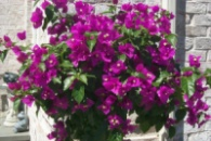 Бугенвиллия New Violet