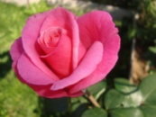 Роза Карина. Karina