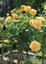 Штамбовая роза Лаура Форд
