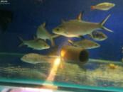 Акулий барбус (Balantiocheilus melanopterus) 5-6см