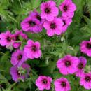 Герань садовая/Geranium