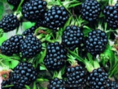 ​Ежевика Торнфри (Thornfree Blackberry)