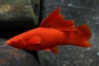 меченосец рубиновый 4-5см