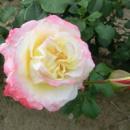 Саженцы чайно-гибридных роз Атена (Athena)