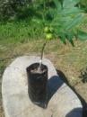 Продам саженцы привитого крупноплодного ореха (коллекция Винницких крупноплодных)