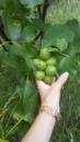 Саженцы ореха Кочерженко Скороплодный
