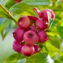 Голубика Pink Blueberry