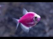 тернеция GloFish фиолетовая «пурпурная»