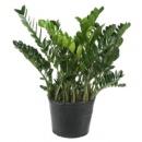 замиокулькас- доллоровое дерево