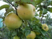 Яблоня Янтарное Ожерелье