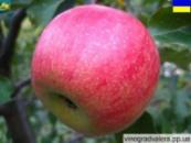 Яблоня Джонагоред Моренс(Горец) 110-140 см