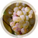 Технический виноград «Рислинг»