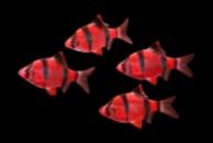 барбус GloFish красный суматранский (Barbus tetrazona red GLOFISH)