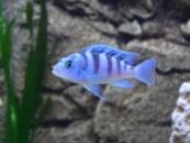 псевдотрофеус ломбардо (Pseudotropheus lombardoi)