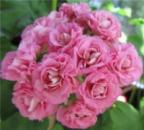 Пеларгония Swanland Pink Australien Pink Rosebud